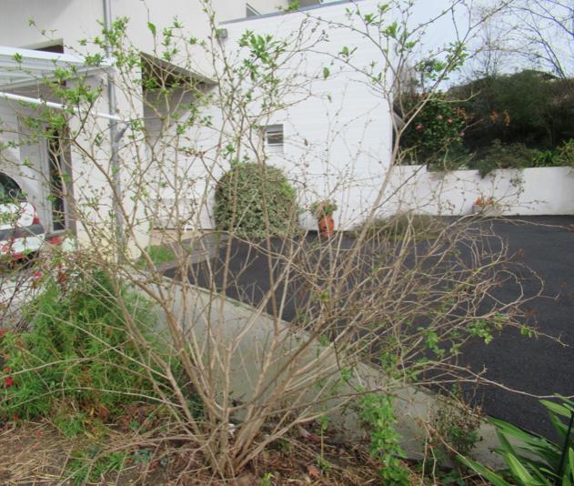Solanum rantonnetii - Page 2 Captur10