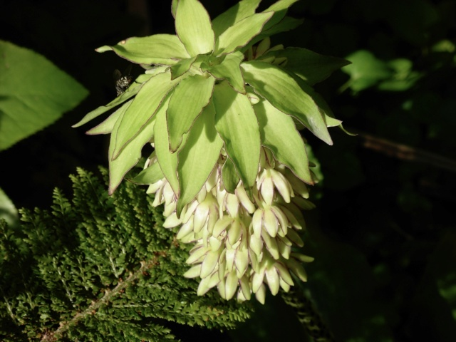 Eucomis bicolor  Dscn2811