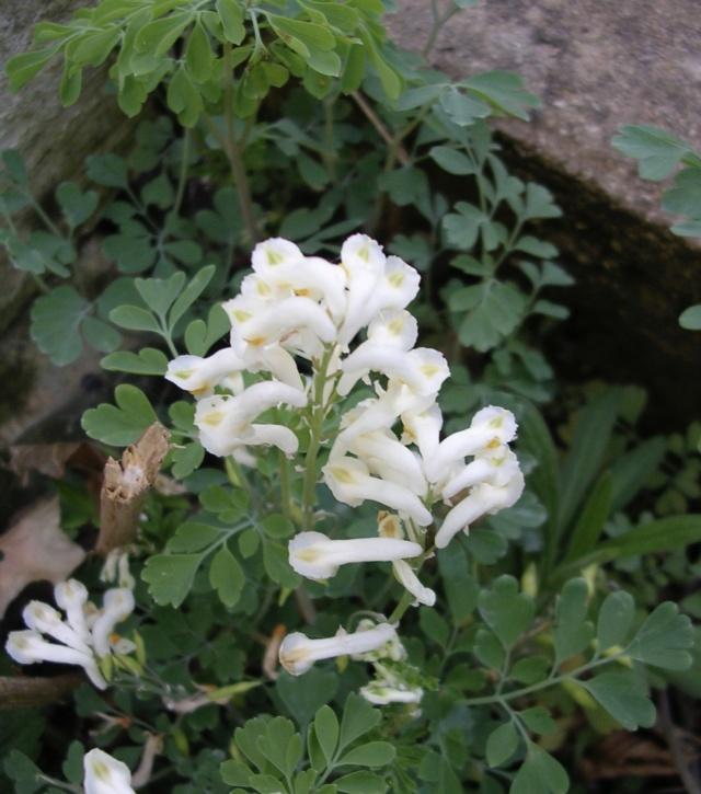 Pseudofumaria alba subsp. acaulis  (= Corydalis ochroleuca) Dscn3210