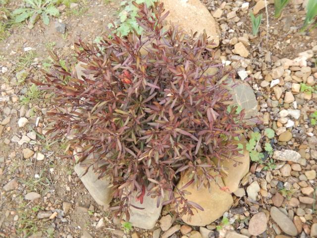 Cneorum tricoccon - camélée Dscn4110