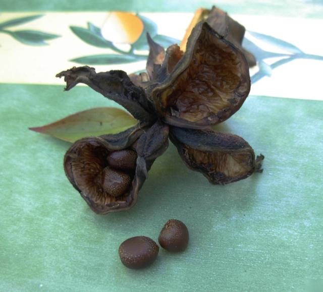 Calycanthus floridus - arbre aux anémones - Page 2 Dscn5114