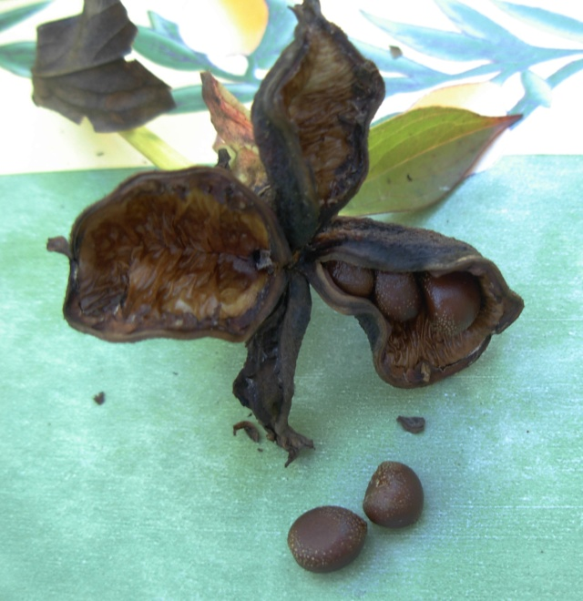 Calycanthus floridus - arbre aux anémones - Page 2 Dscn5115