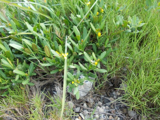 Cneorum tricoccon - camélée Dscn5410