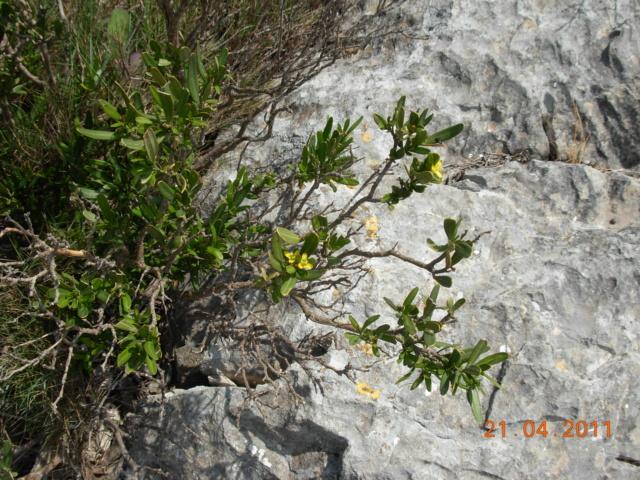 Cneorum tricoccon - camélée Dscn6610