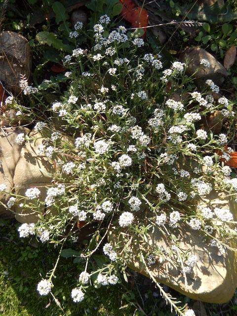 Lobularia maritima - Alysson maritime Dscn8516