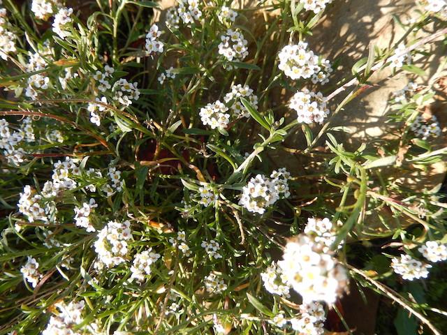 Lobularia maritima - Alysson maritime Dscn8517