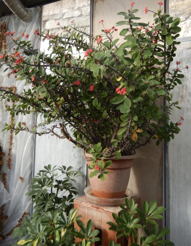 Euphorbia millii - Page 3 Dscn8612