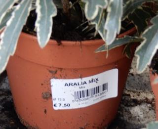 Schefflera elegantissima -  (= Dizygotheca elegantissima) Dscn8614