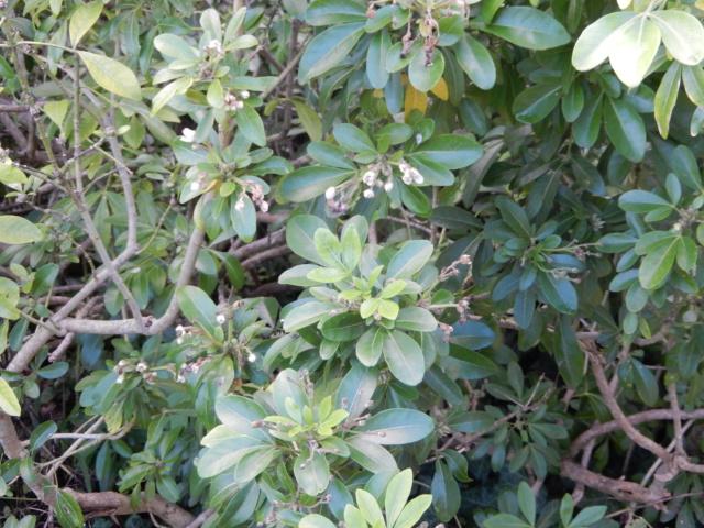 Choisya ternata - oranger du Mexique Dscn8617