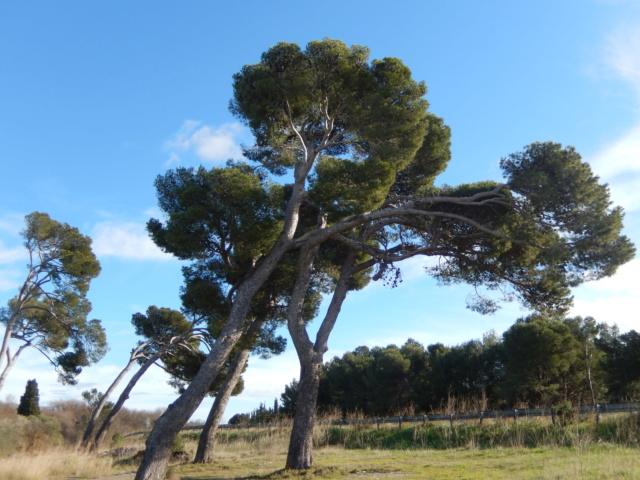 Pinus pinea - pin parasol - Page 3 Dscn8717