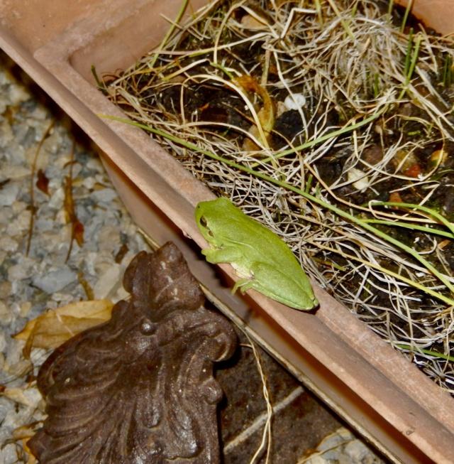 rainettes et autres grenouilles - Page 8 Dscn8719