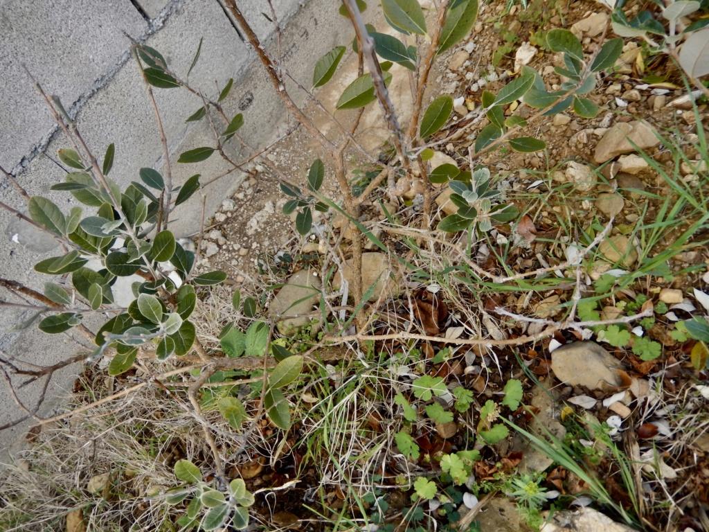 Acca sellowiana (Feijoa) - goyavier du Brésil - Page 4 Dscn8727