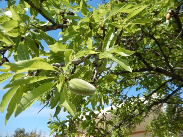 Prunus dulcis - amandier - Page 2 Dscn8821