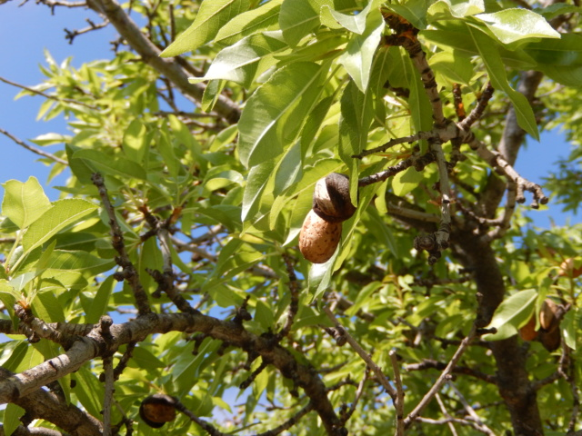 Prunus dulcis - amandier - Page 2 Dscn8822