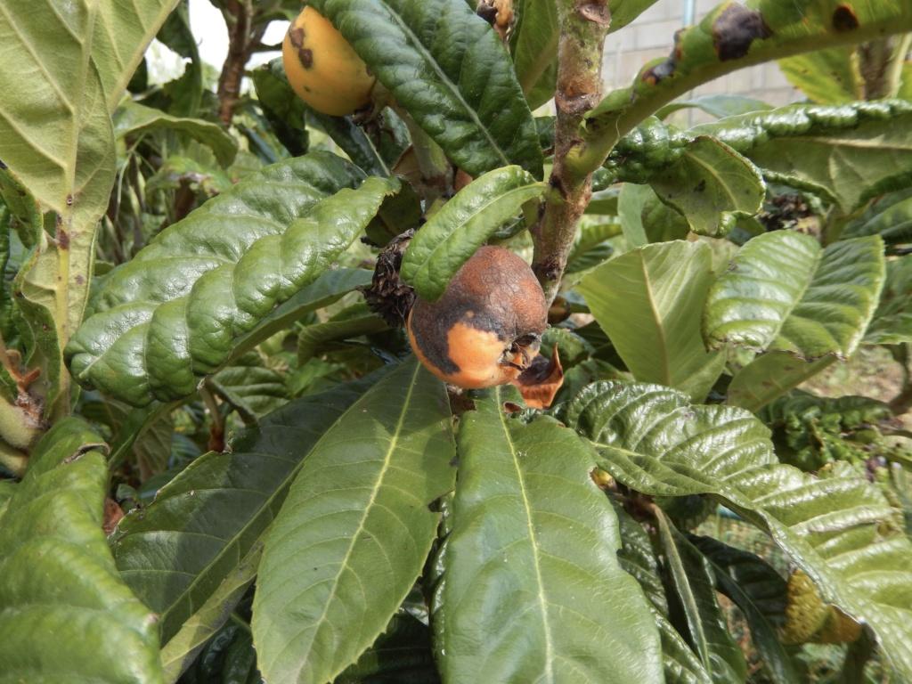 Eriobotrya japonica - bibacier, néflier du Japon - Page 5 Dscn8922
