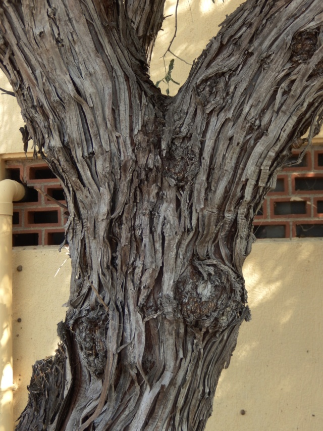 Eleagnus angustifolia - arbre identifié Dscn8934