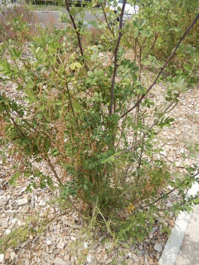 Hippocrepis emerus-Coronille arbustive-Identifiée Dscn9110