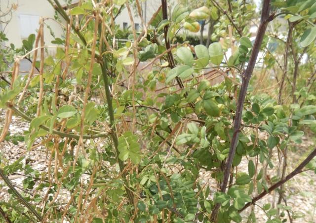 Hippocrepis emerus-Coronille arbustive-Identifiée Dscn9113