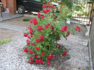 Розы ТОПАЛОВИЧ ВЕСНА 2020 - Страница 24 2466213