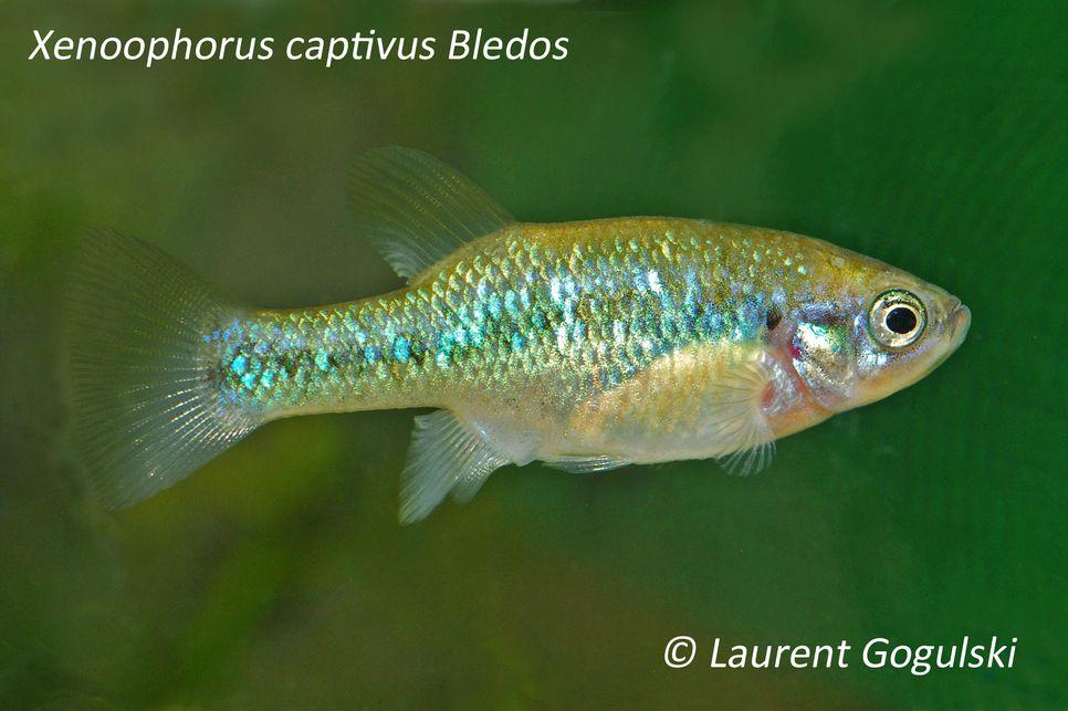 XENOOPHORUS CAPTIVUS Lauren12
