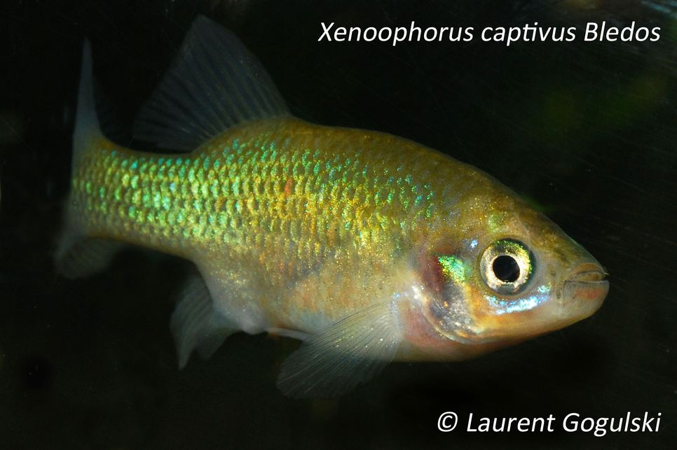 XENOOPHORUS CAPTIVUS Lauren13