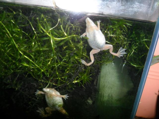 Mes grenouilles de petites tailles - Page 16 Photo_54