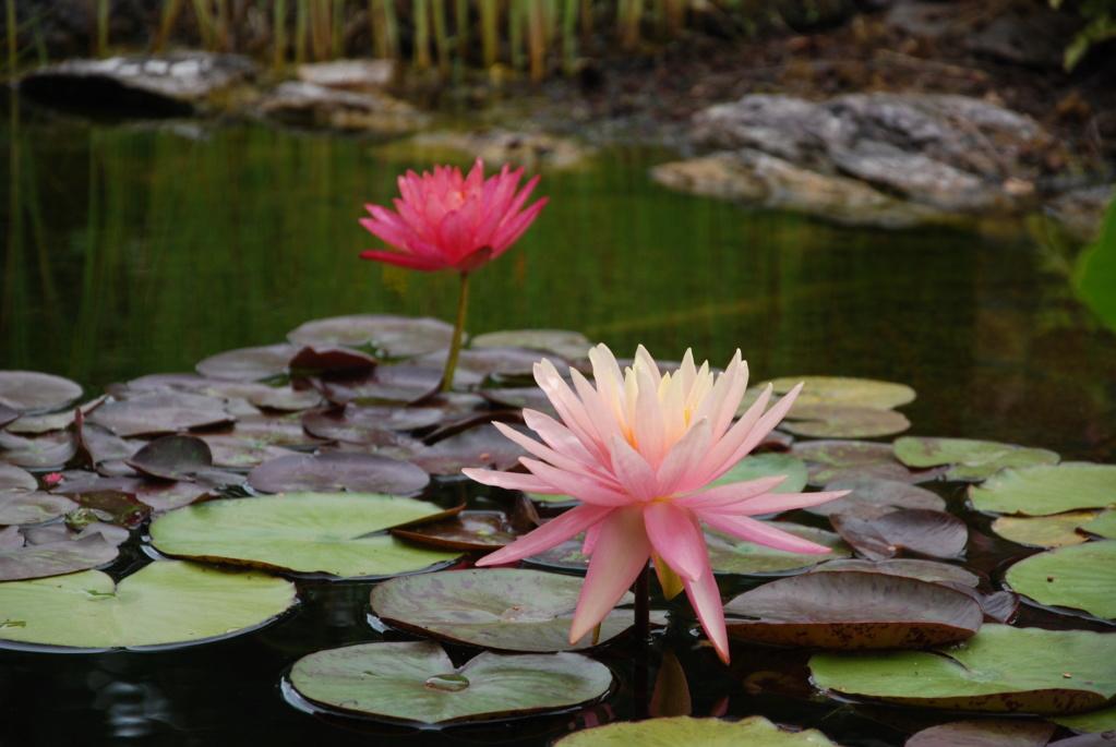 Jardin d'eau de Logan Dsc_0610