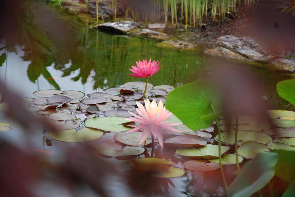 Jardin d'eau de Logan Dsc_0611