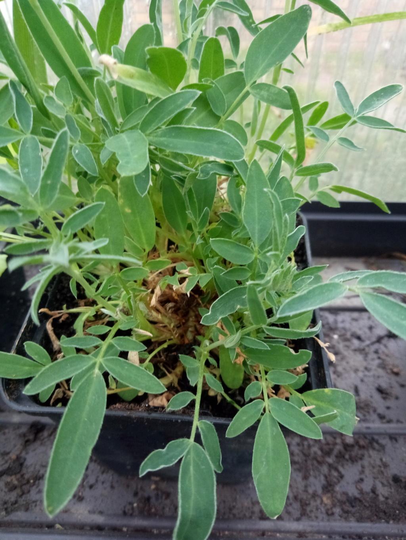 C quoi don ? Anthyllis vulneraria coccinea Img_2129