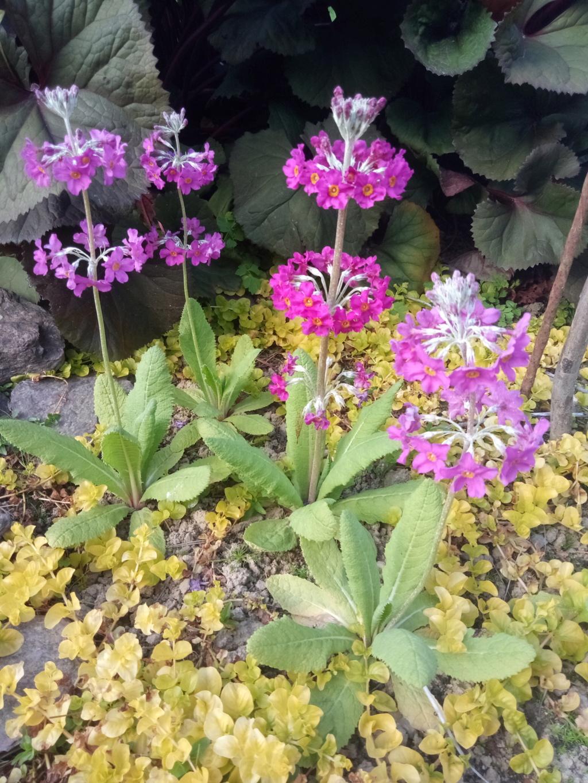 Primula japonica Img_2425