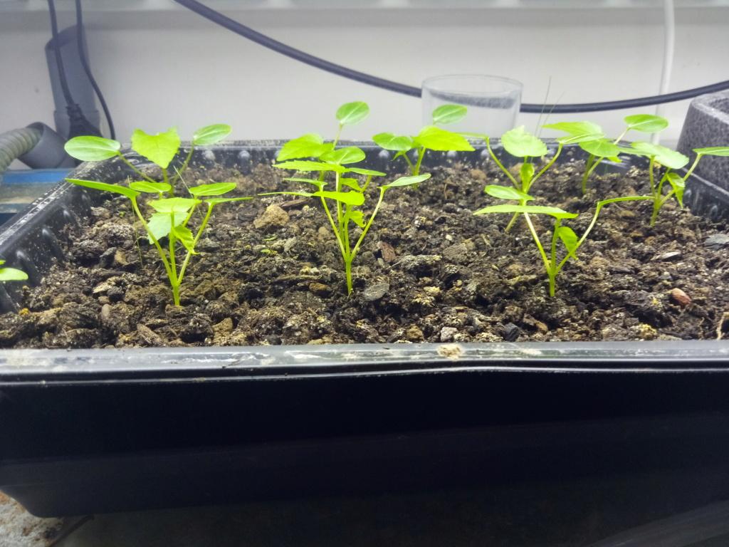 Semis d'hibiscus coccineus Img_2543