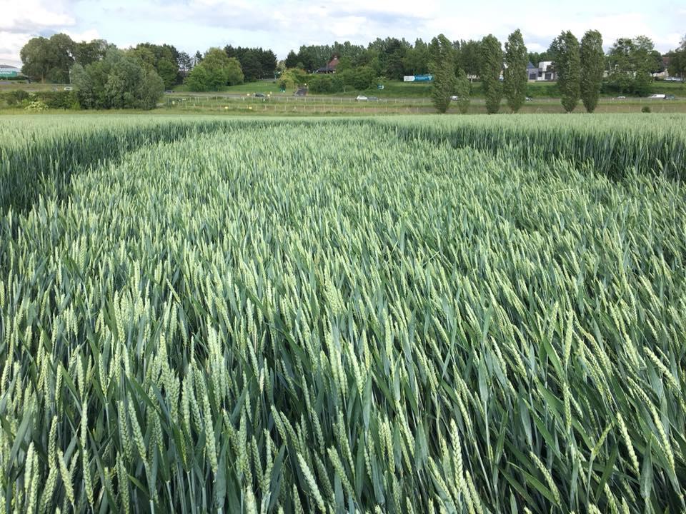 Crop circle à Baillet-en-France (95) 61696810
