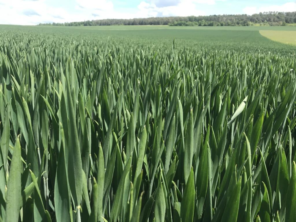 suivi blé tendre 2019 127a1f10