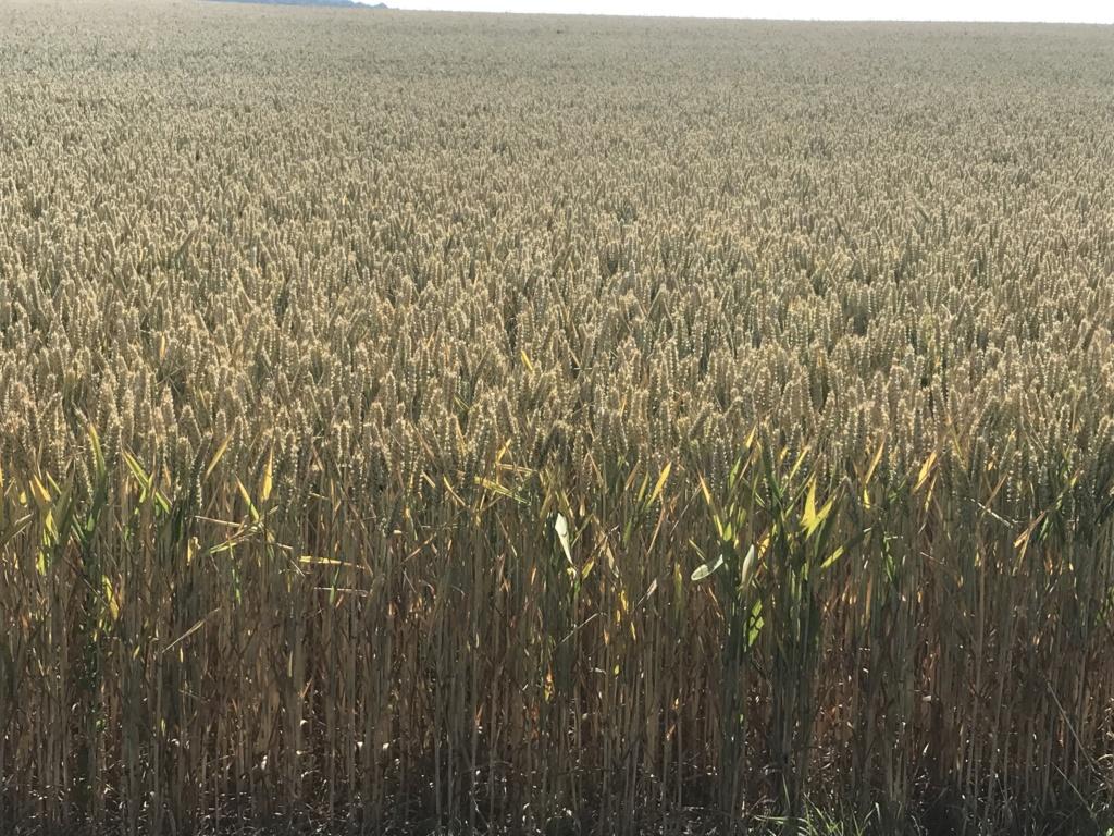 suivi blé tendre 2019 1e0a8910