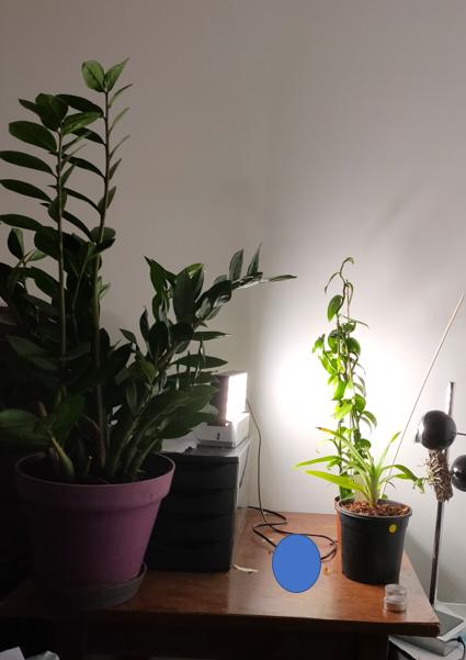 Taches marrons extrémités feuilles - phalaenopsis Led10
