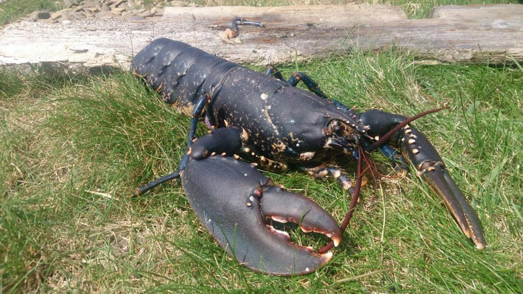 Les crevettes bleues Dsc_2012