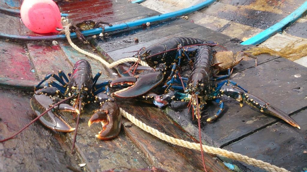 Les crevettes bleues Lobste10