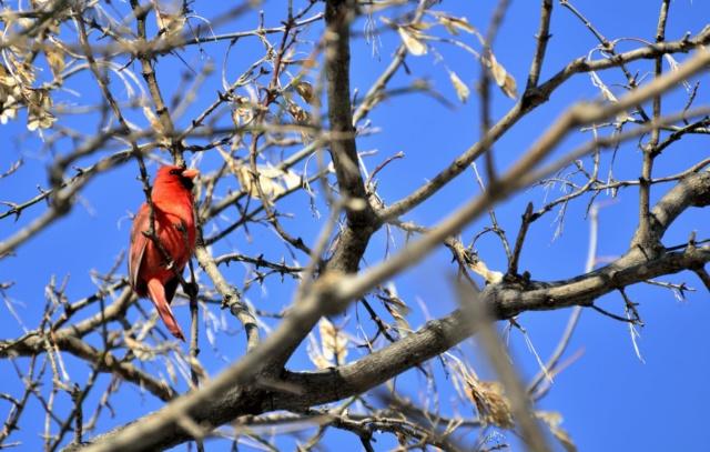Cardinal rouge _dsc0314
