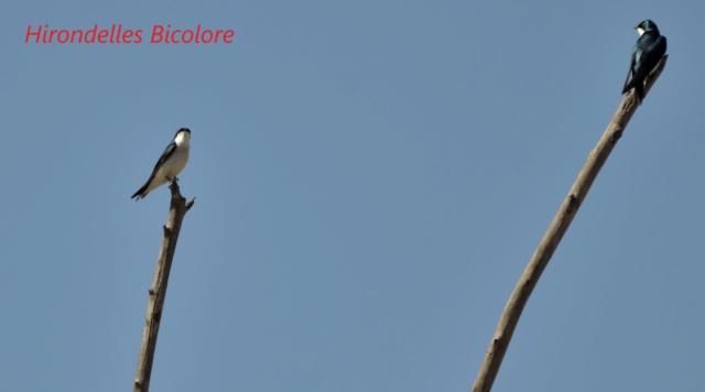 hirondelle bicolore _dsc1410