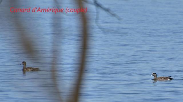 canard d'Amérique Canard11
