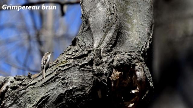 grimpereau brun Grimpe10
