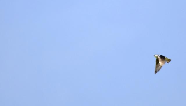 Hirondelle bicolore Hiiron10
