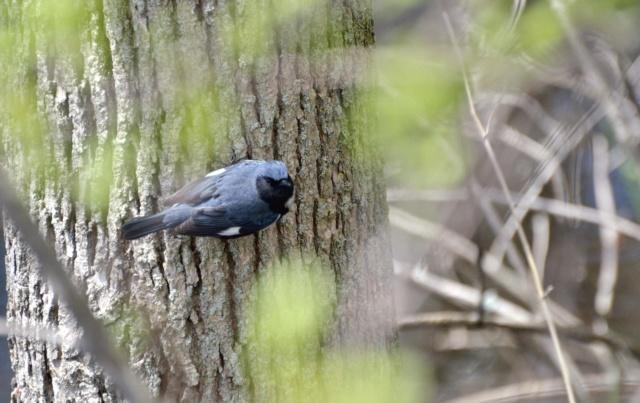 Paruline bleue Paruli10
