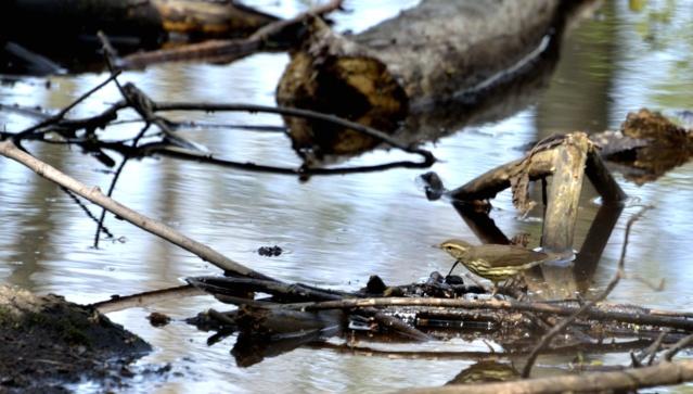Paruline des ruisseaux Paruli21