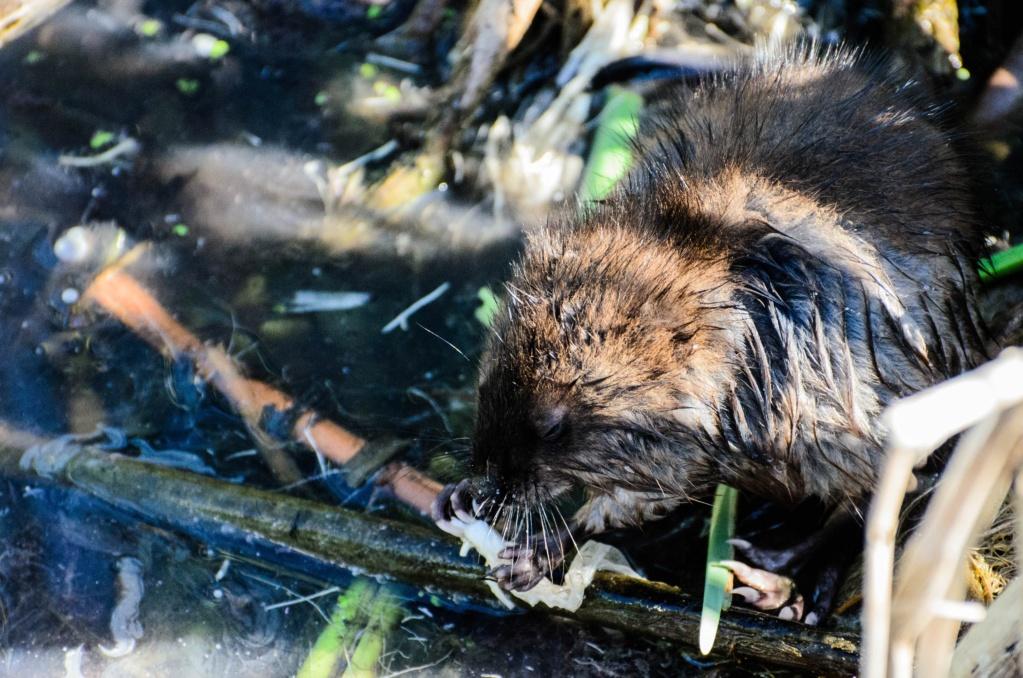 rat musqué Rat_mu10