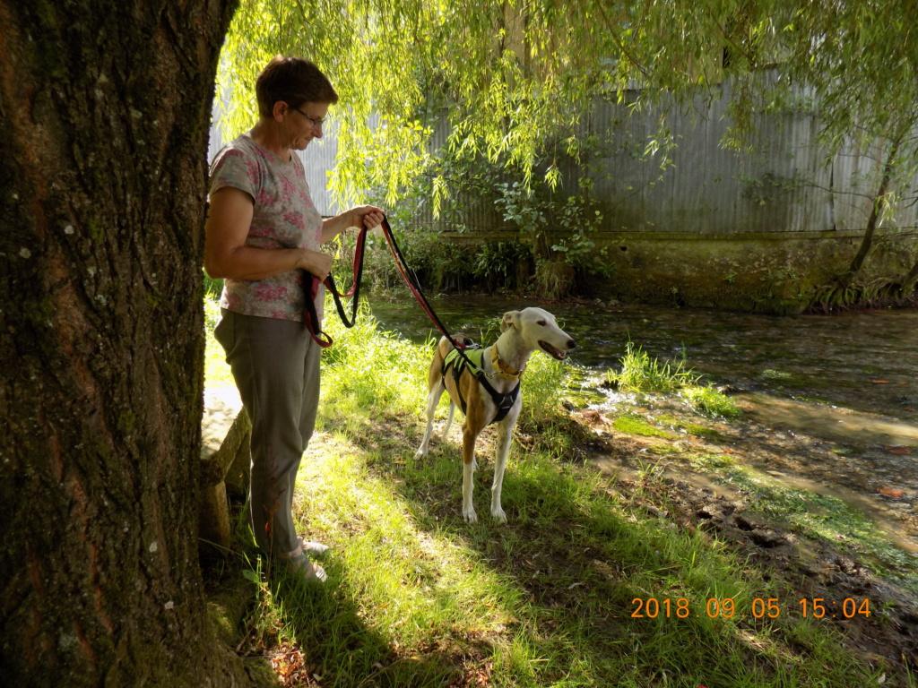Buck galgo blanc et bringé de 4 ans Adopté  Dscn6510