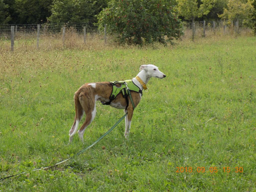 Buck galgo blanc et bringé de 4 ans Adopté  Dscn6511