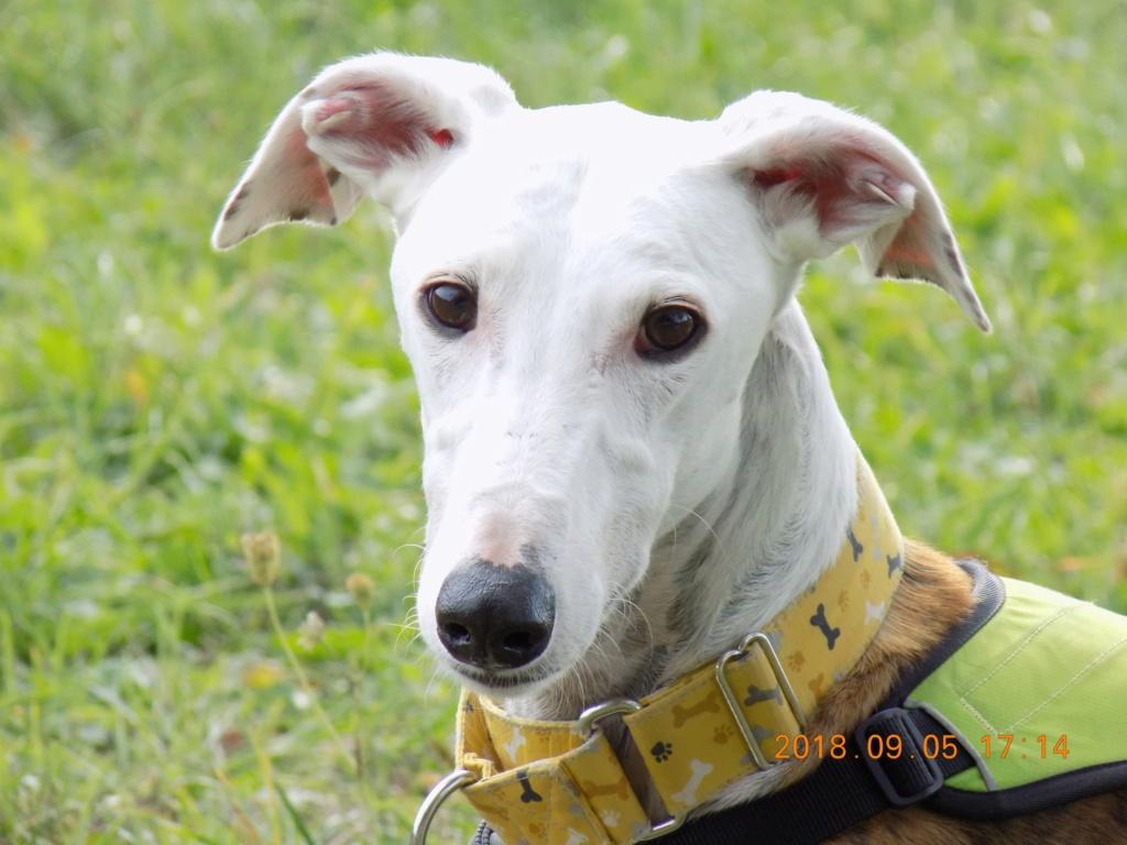 Buck galgo blanc et bringé de 4 ans Adopté  Dscn6610