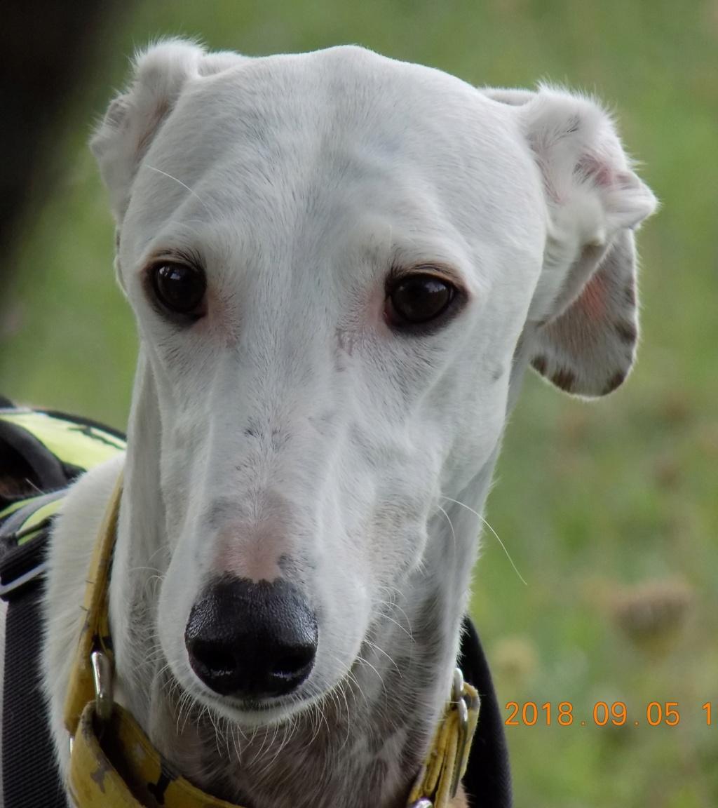 Buck galgo blanc et bringé de 4 ans Adopté  Dscn6611