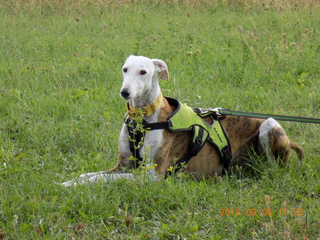 Buck galgo blanc et bringé de 4 ans Adopté  Dscn6612
